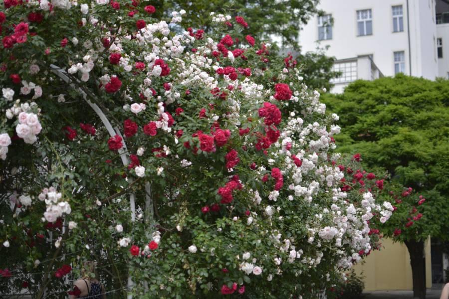 Rosen im Franziskanergarten Prag