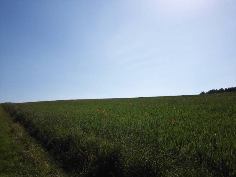 Feld mit Mohnblumen auf dem Weg