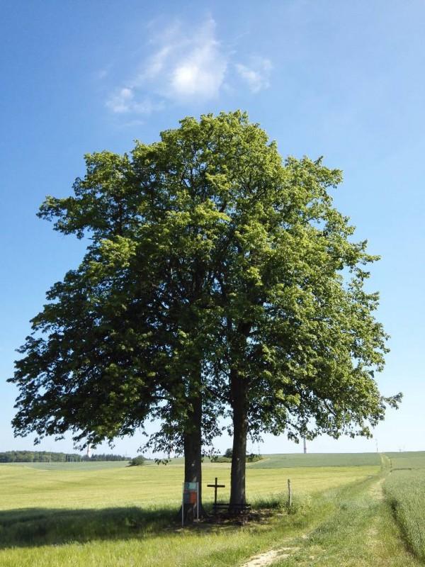 Der Zwillingsbaum bei Mannebach auf dem Saar-Hunsrück-Steig