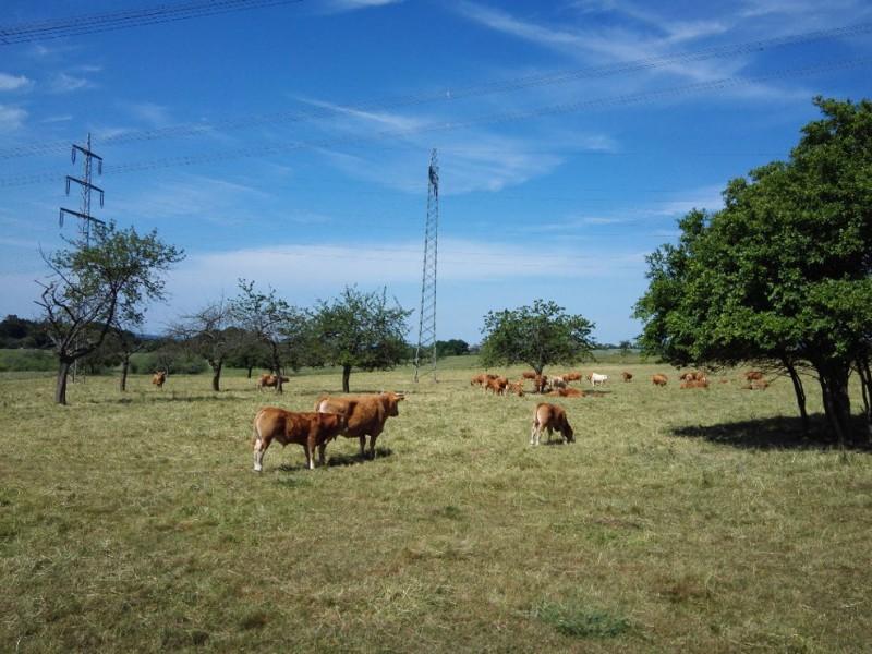 Rinder auf der Weide machen mich hungrig auf dem Saar-Hunsrück-Steig