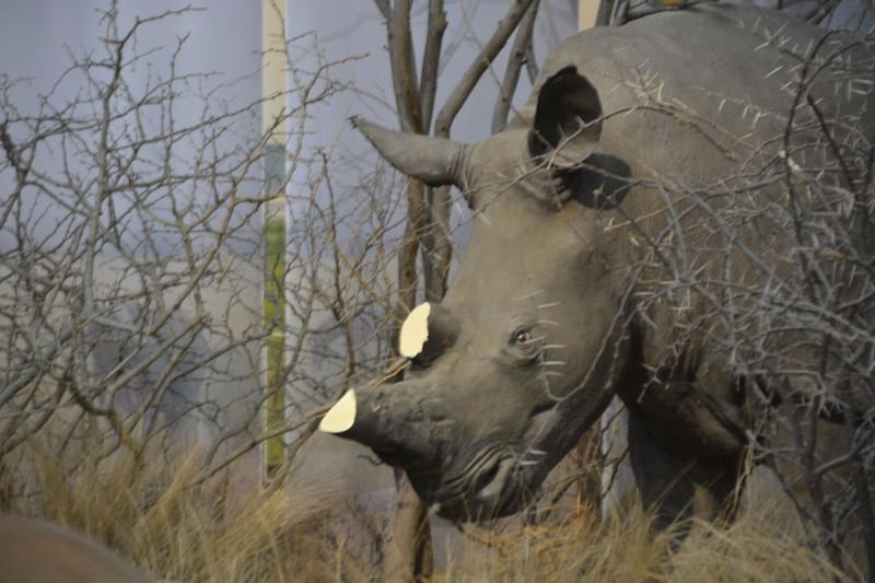 Nashorn ohne Horn im Museum Koenig Bonn