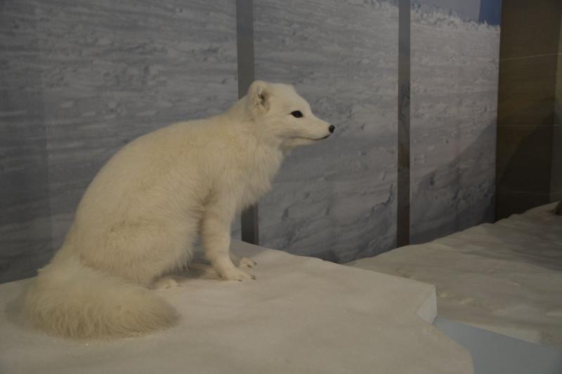 Polarfuchs -kleine Ohren im Museum Koenig Bonn