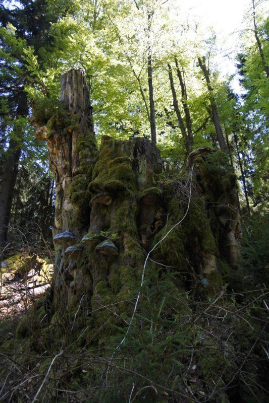 Baumreste mit vielen Schwämmen am Wegesrand im UNESCO Biosphärenreservat Vessertal-Thüringer Wald