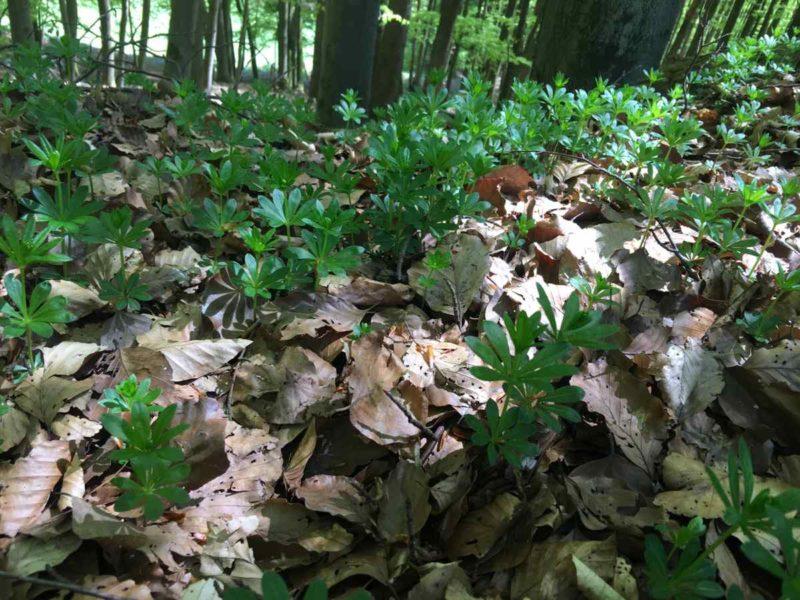 Waldmeister in der Natur des Biosphärenreservats Vessertal-Thüringer Wald