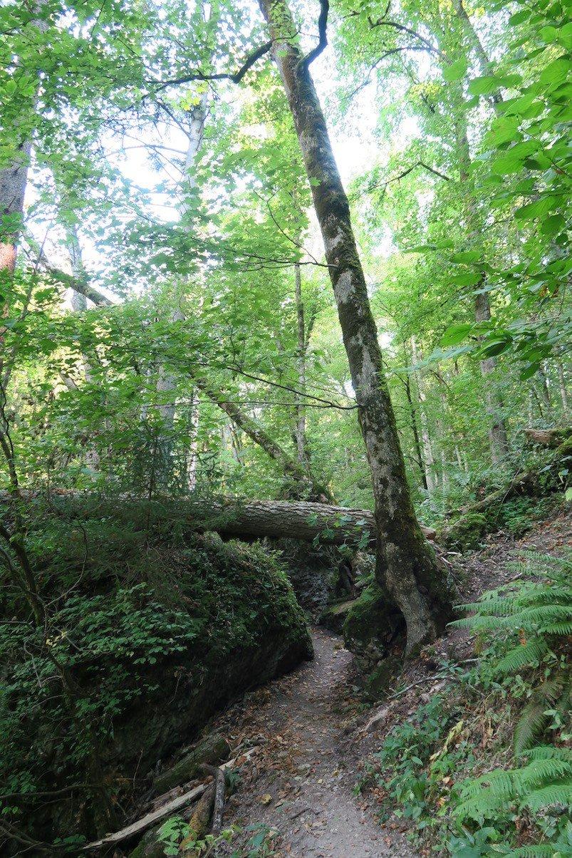 Ein Baum im Weg auf dem Schluchtensteig im Bereich der Wutachflühe