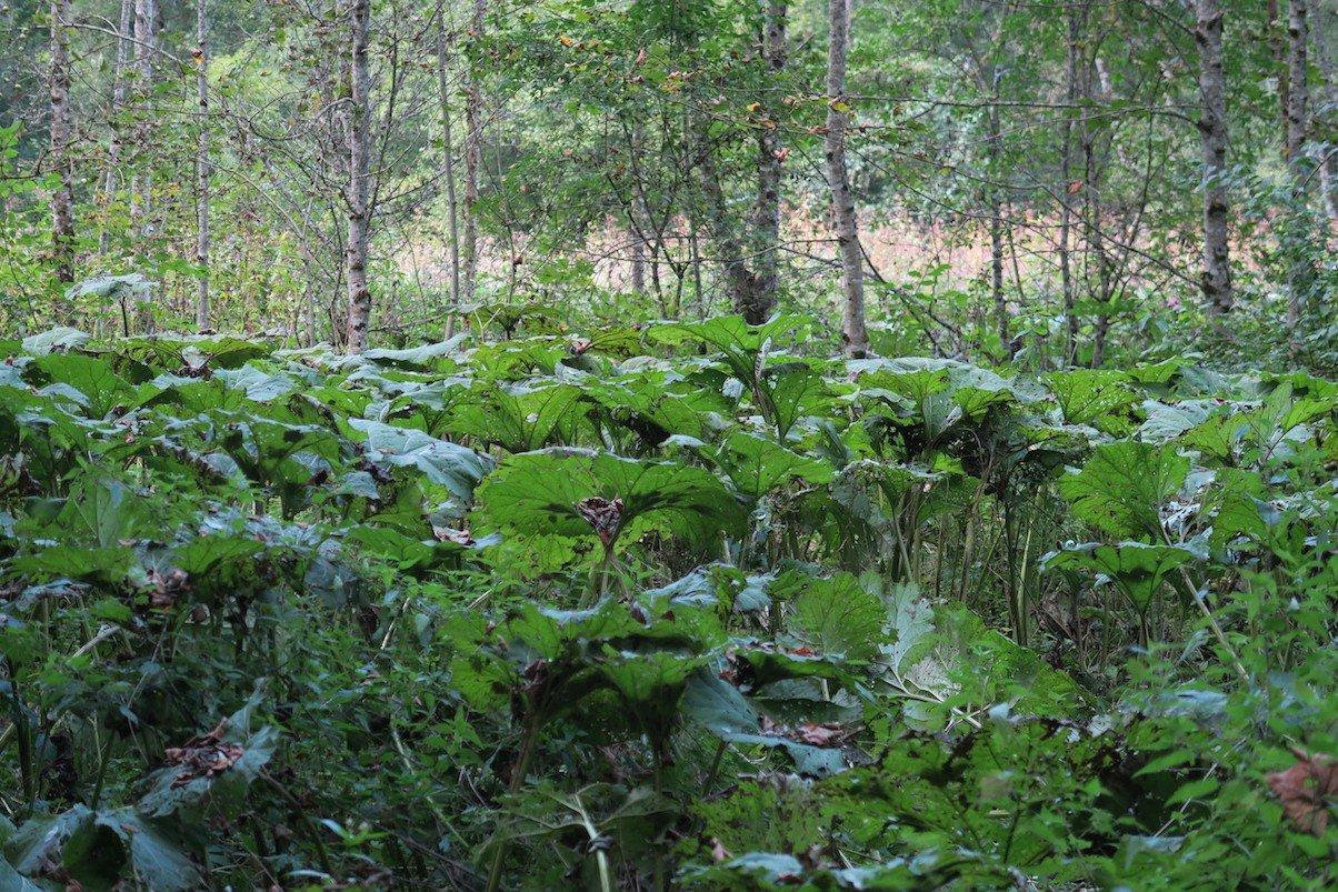 Pestwurz mit ihren großen Blättern in der Wutachschlucht im Bereich Bad Boll