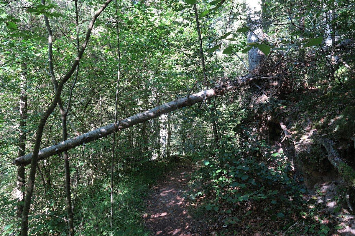 Baum quer über dem Wanderweg der 3. Etappe des Schluchtensteigs