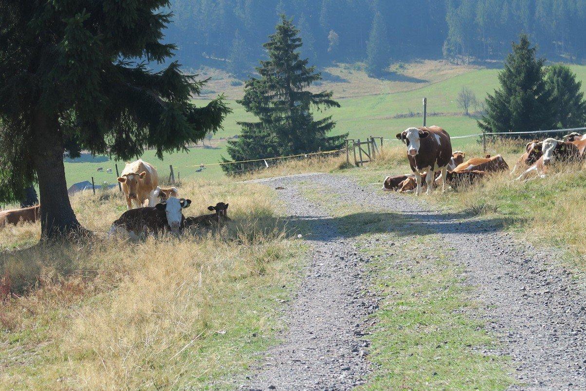 Wieder mal Kühe auf dem Weg. Weiss jemand, warum die immer direkt am Weg sind, obwohl die Weiden riesig sind?