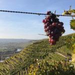 Aufgehängte Dolde mit Ausblick über die Weinberge in Richtung Hessigheim