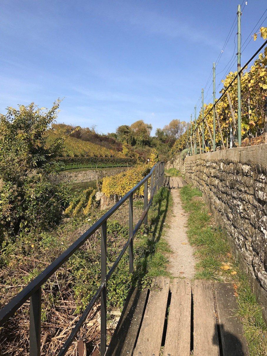 Schmaler Fußweg durch die Weinberge zwischen Mundelsheim und Hessigheim