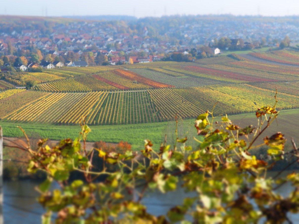 Blick runter aus den Weinbergen Richtung Mundelsheim über den Neckar (Foto: Gesine Hermann)