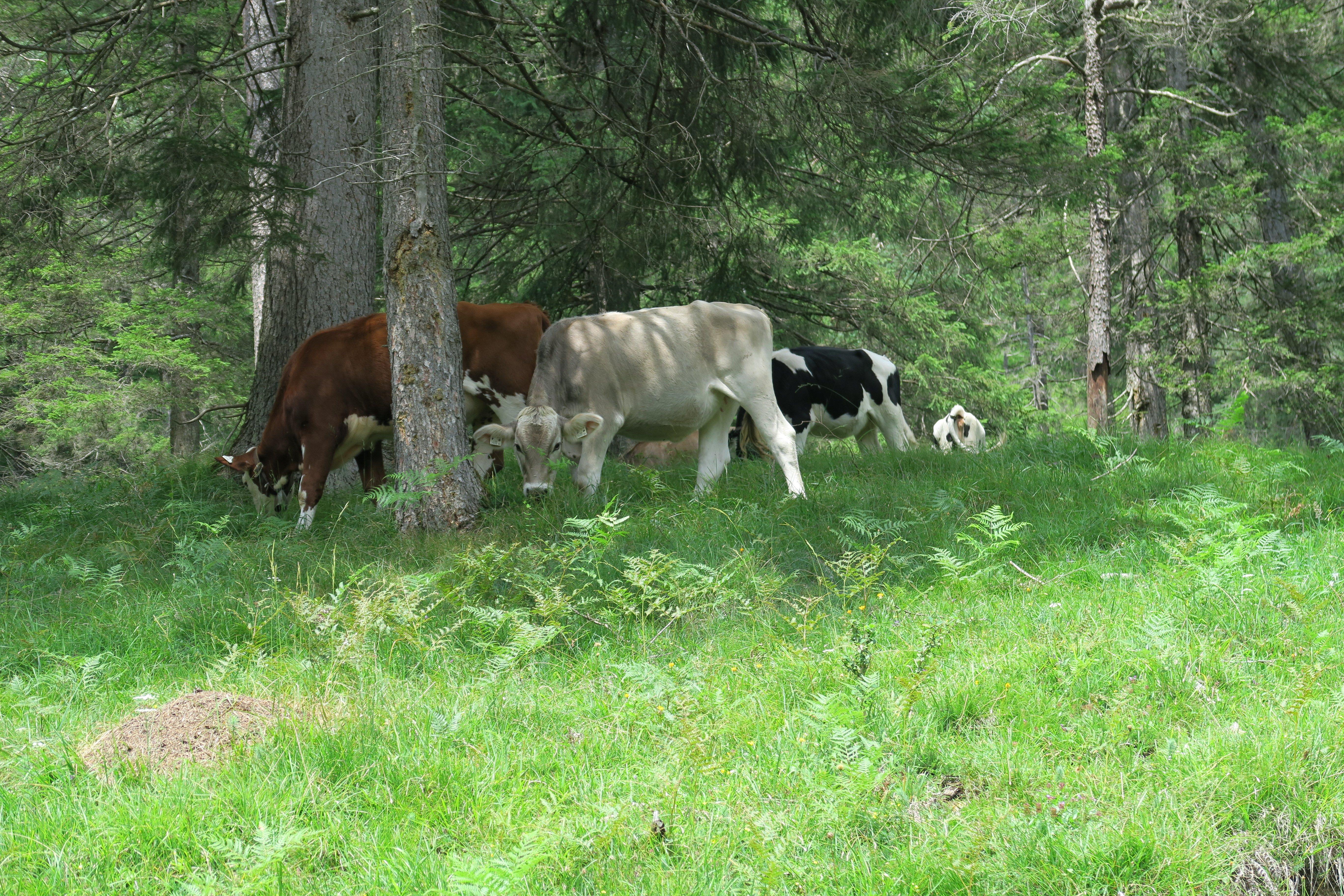 Kühe am Rand des Lechwegs