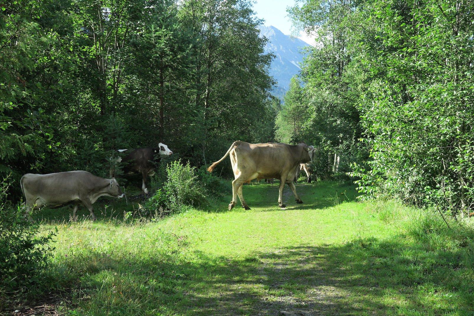 Kühe auf dem Lechweg - die sind weit verbreitet, fast keine Etappe ohne...
