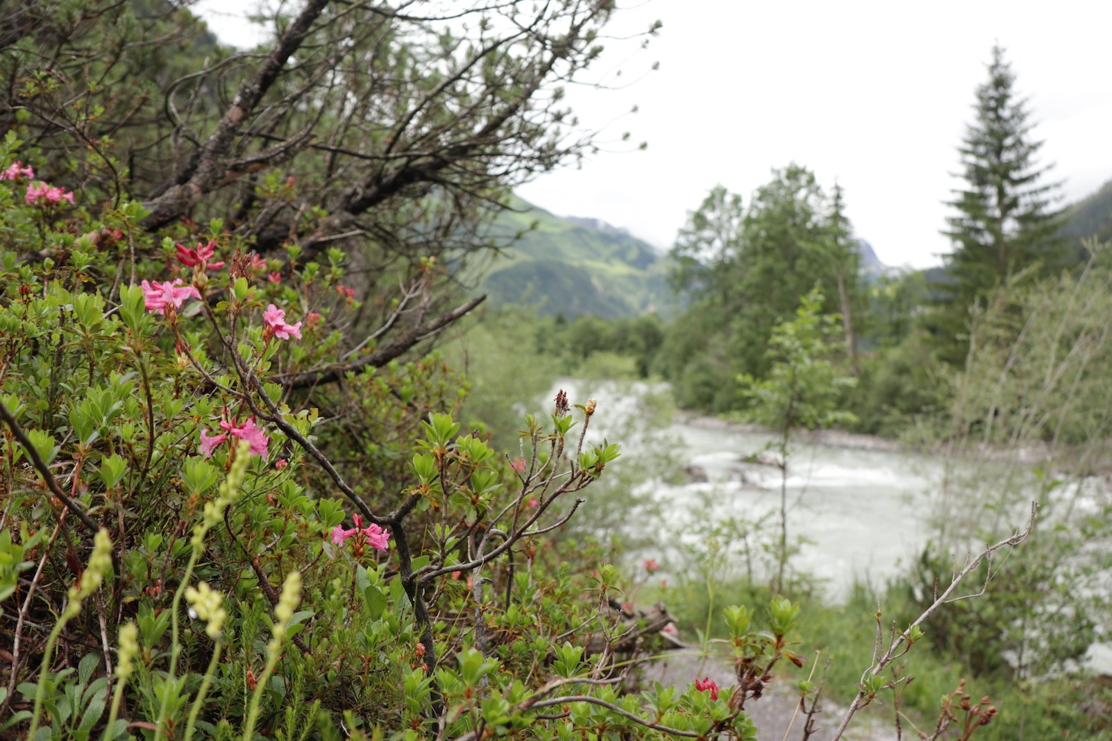 Erster Versuch mit der Alpenrose und dem Lech im Hintergrund: Blende weit auf, Fokus auf Alpenrosen