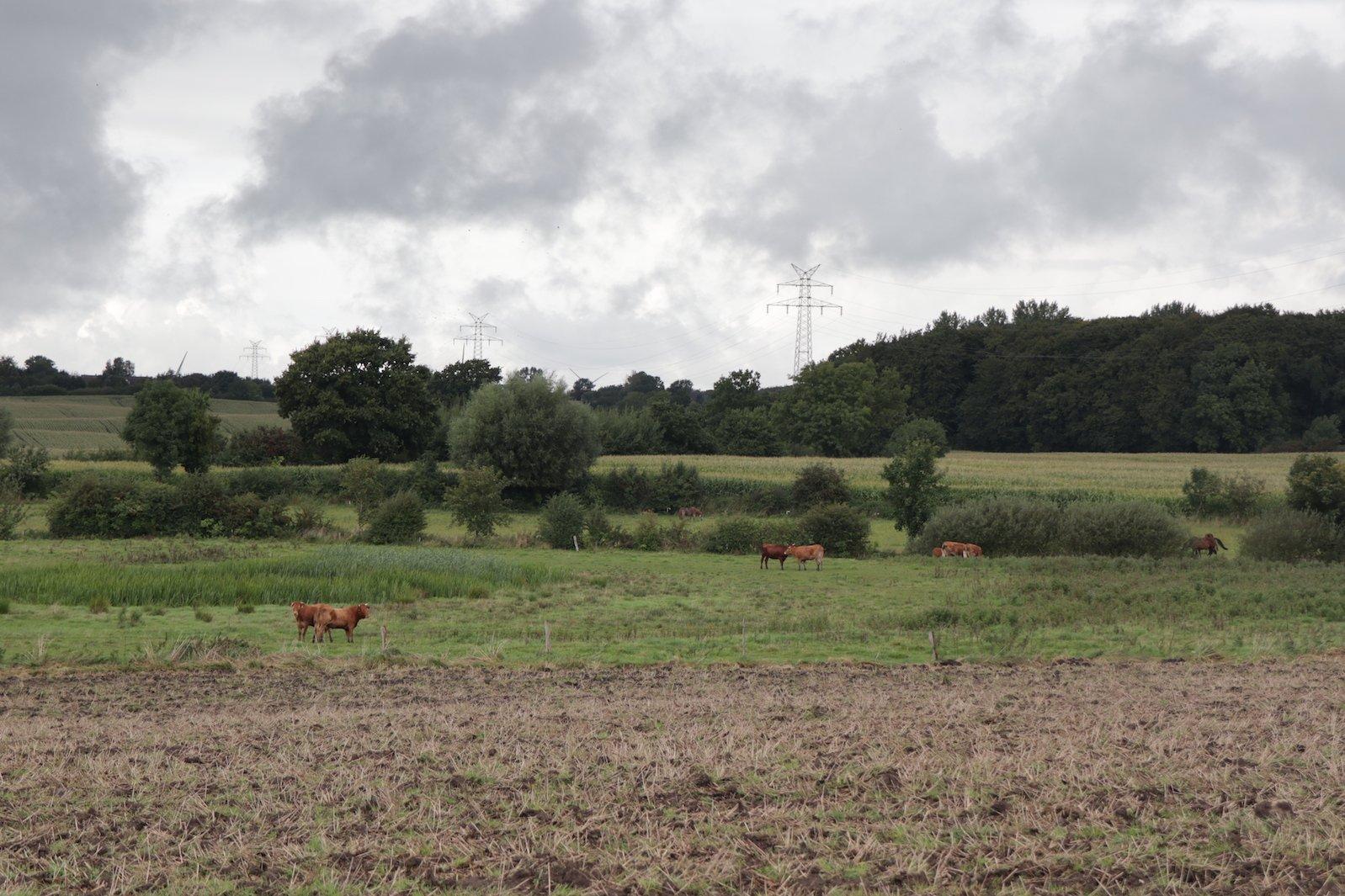 Rinder auf der Weide im Grünen Binnenland