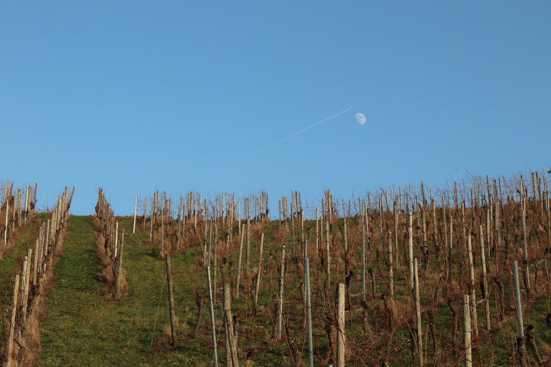 Hoch steht der Mond über dem Weinberg, schon fast voll