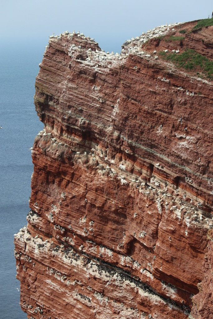 Steilküste mit Lummen in Helgoland