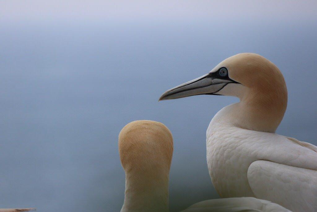Lummen von ganz nah auf Helgoland