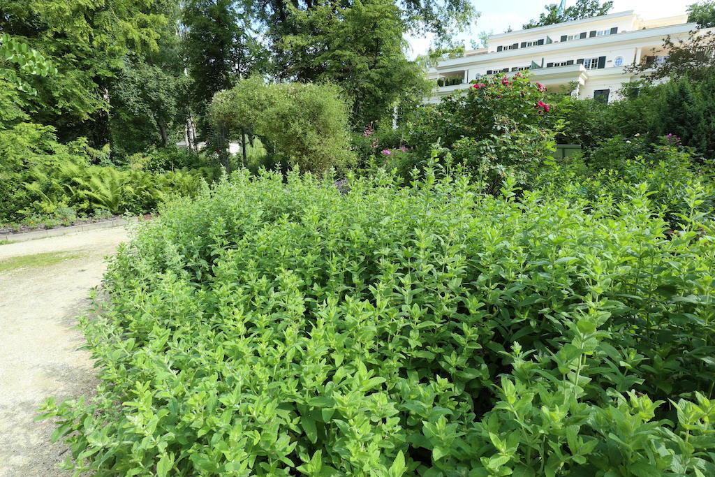 Ein großes Feld Minze im Duft- und Aromagarten Bad Wörishofen