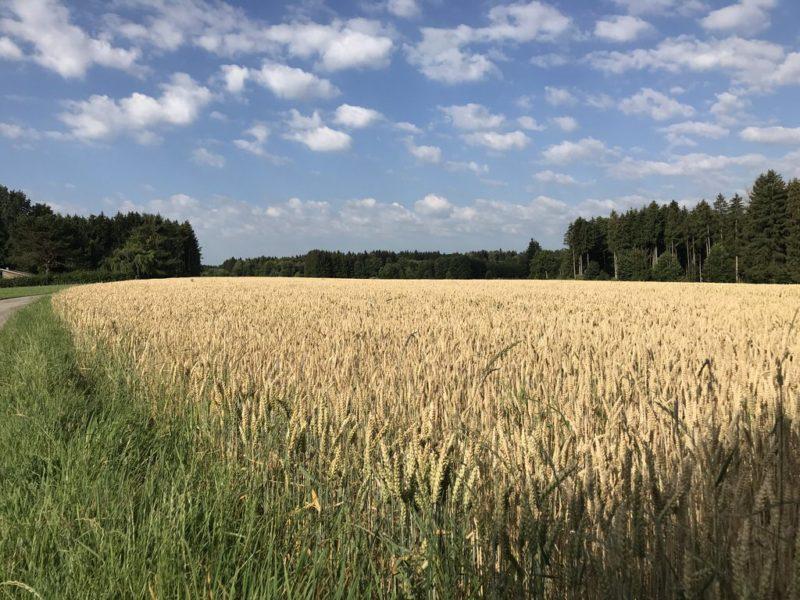 Kornfeld und blauer Himmel mit Wölkchen - Romantik pur...