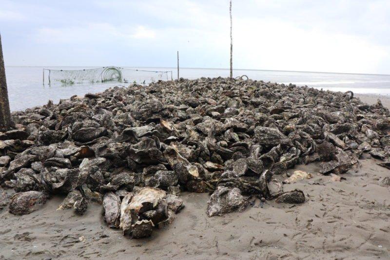Auch wie es zu dieser Austernbank von pazifischen Austern im Watt von Juist gekommen ist, das erfährst Du bei der Wattwanderung mit Heino
