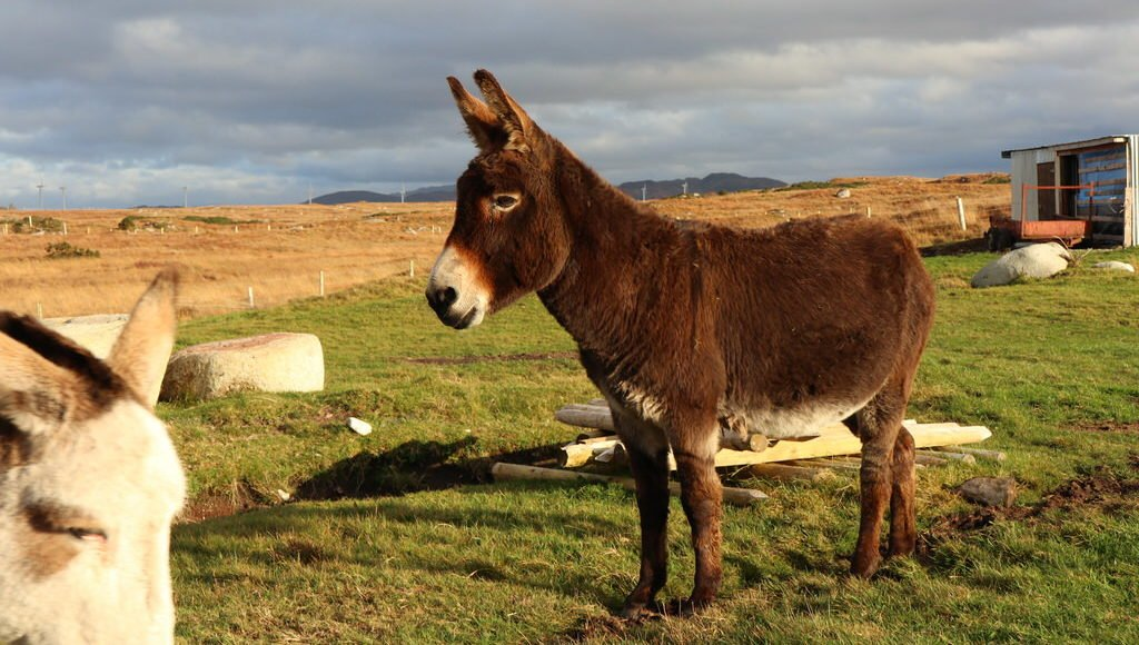 Esel kurz vor dem Dolmen Kilclooney im County Donegal