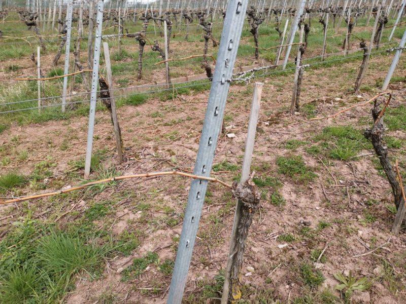 Nur eine Weinrebe am Stamm - offenbar wird hier mehr Wert auf Qualität statt auf Quantität gelegt