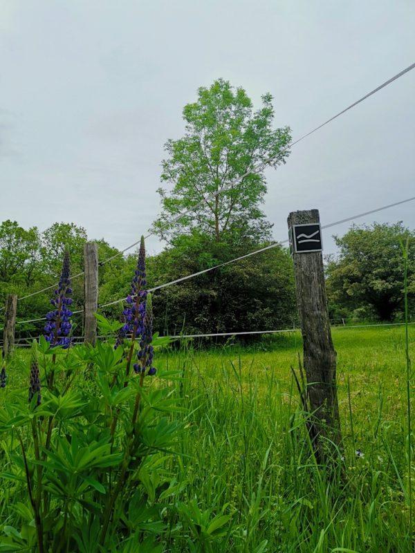Lupinen säumen den Wanderweg