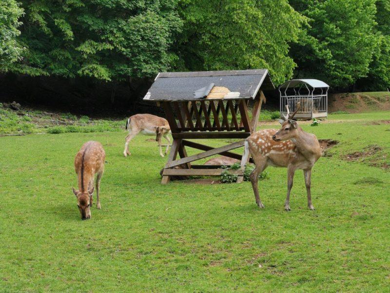 Rehe im Wildpark Donsbach