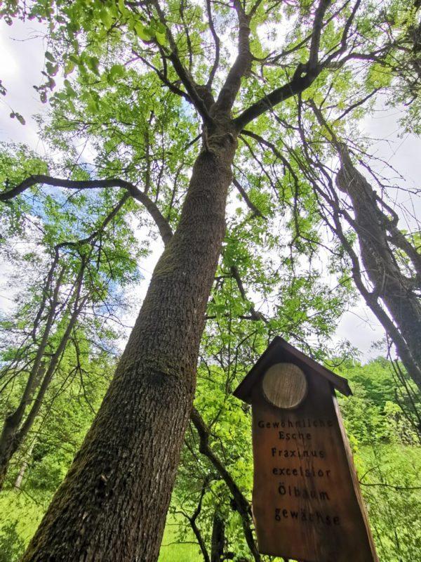 Gemeine Esche auf dem Baumlehrpfad auf dem Wacholderweg