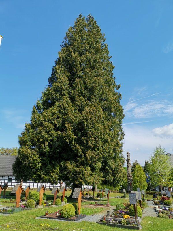 Lebensbaum auf dem Friedhof Wormbach