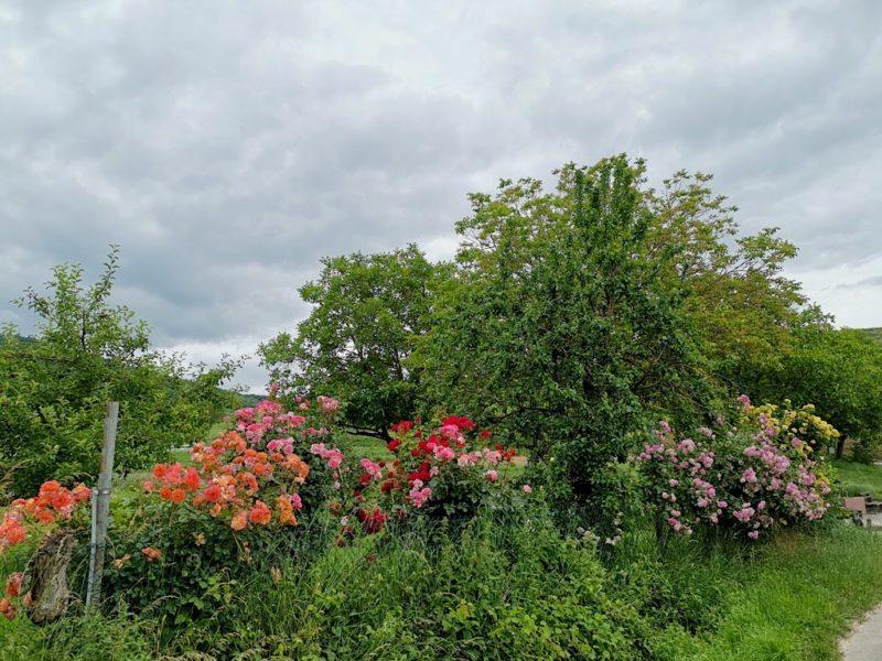 Rosen am Wegesrand des Brunnenpfades