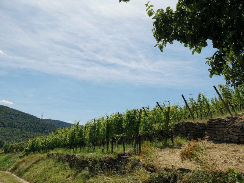 Terrassierter Weinanbau am Bürgstadter Berg, Weinlage Centgrafenberg