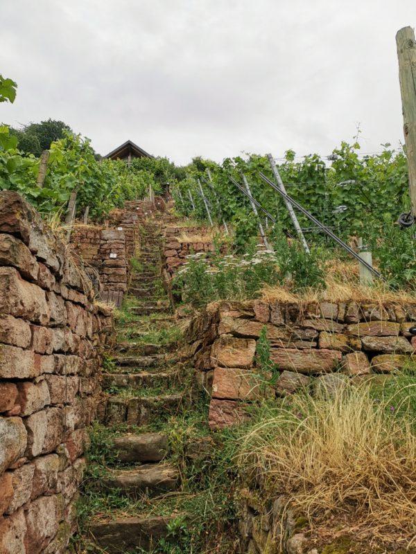 Weinbau in Terrassen in Klingenberg am Main