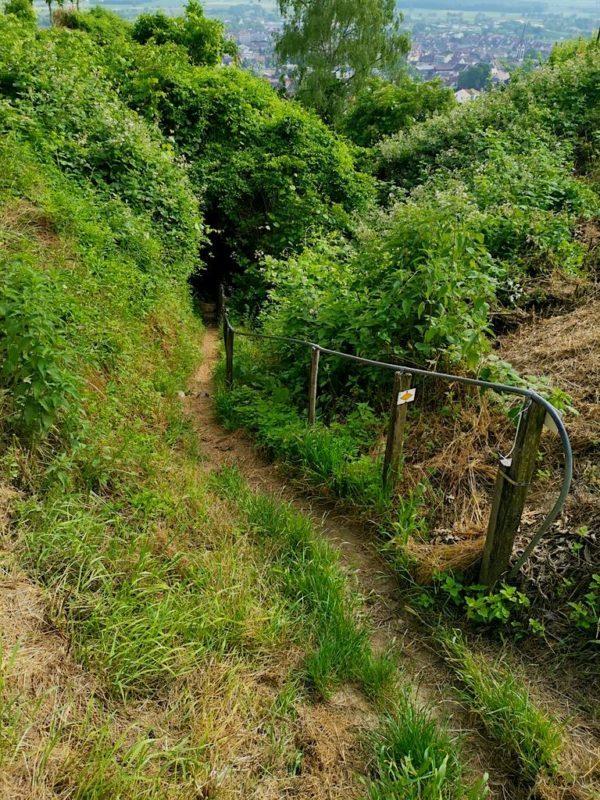 Ein schmaler Pfad führt durch die Weinberge runter und geht auf eine Treppe zu