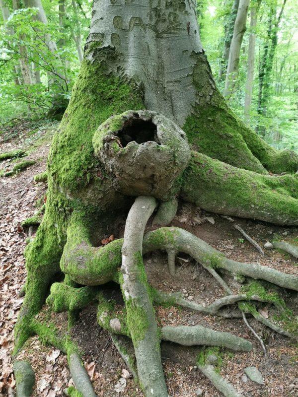 Verschlungene Wurzeln am Rande des Kaiserstuhlpfads