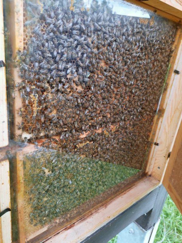 Bienenstock offen (hinter Plexiglas)