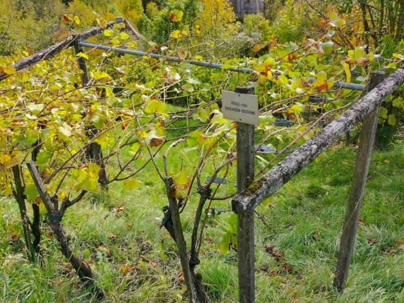 Information zum Weinanbau