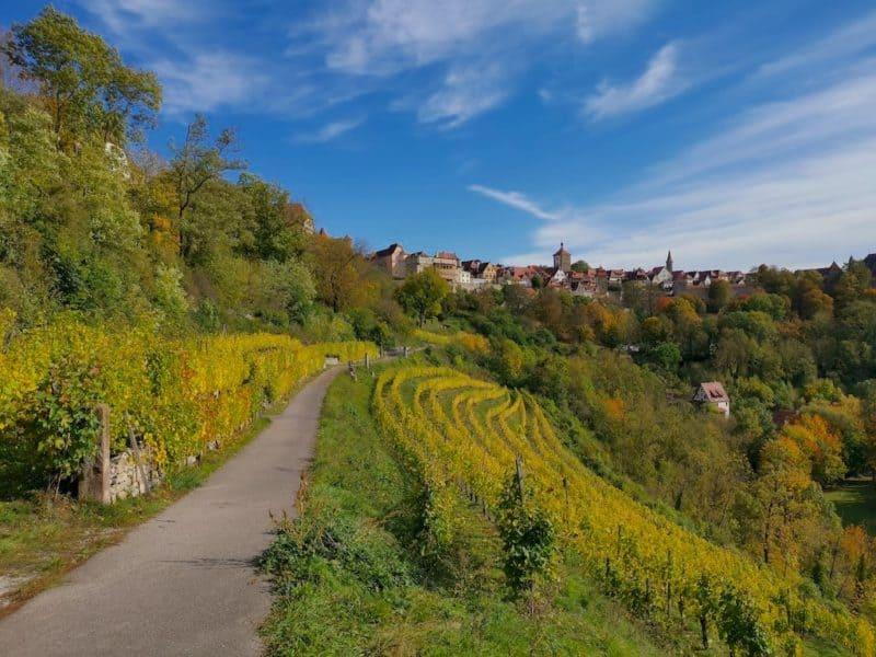 Saftig gelb leuchten die Weinstöcke im Weinberg der Thüraufs in Rothenburg ob der Tauber