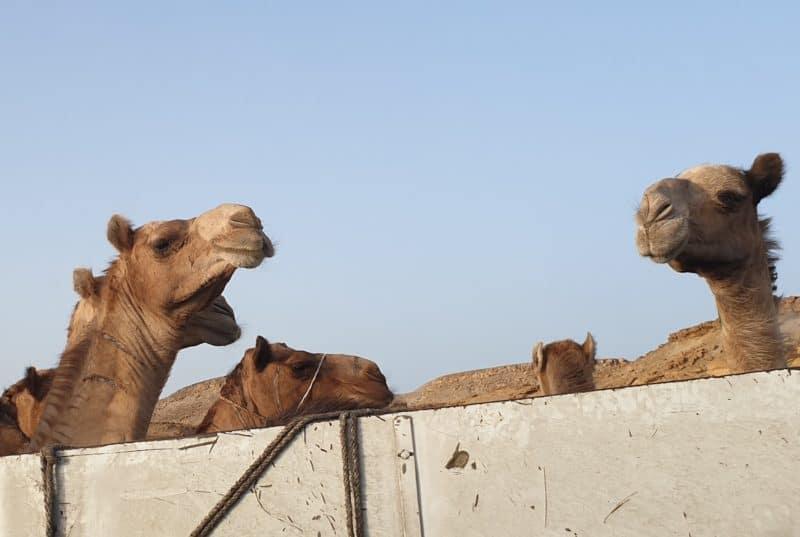 Kamele! (Foto: Stefan Weißer)
