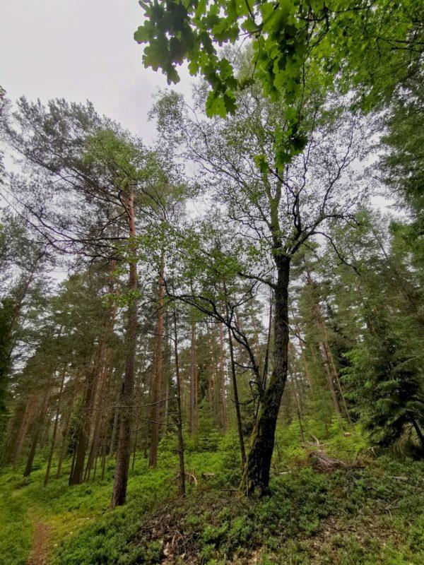 Bäume mit dem Weitwinkel des Handys aufgenommen