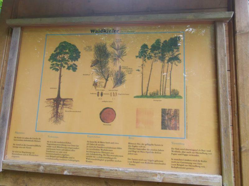 Infotafel über Waldkiefern