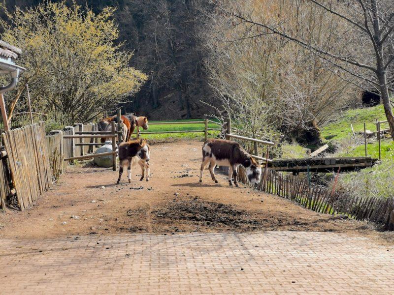 Esel im Gehege direkt an der Eselsmühle