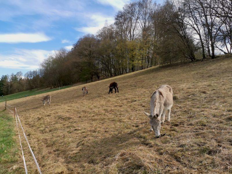 Vier Esel auf der Weide oberhalb der Eselsmühle