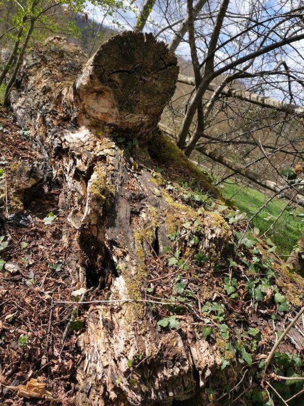 Dekorativ zerfressene Holzstämme am Rande der Kastanienallee