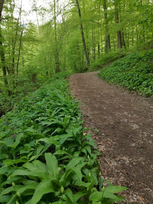Jede Menge Bärlauch im Wald am Wegesrand