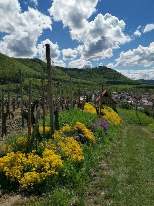 Blumen an einer Weinberghütte- hier geht es direkt um die Hütte herum