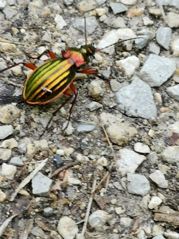 Ein schillernder Käfer kreuzt meinen Weg