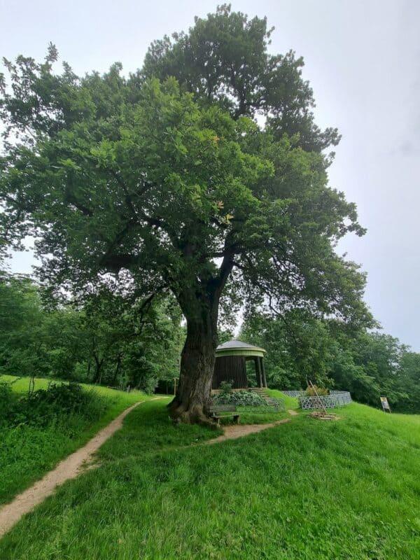 Toller Baum mit dem Tempele dahinter