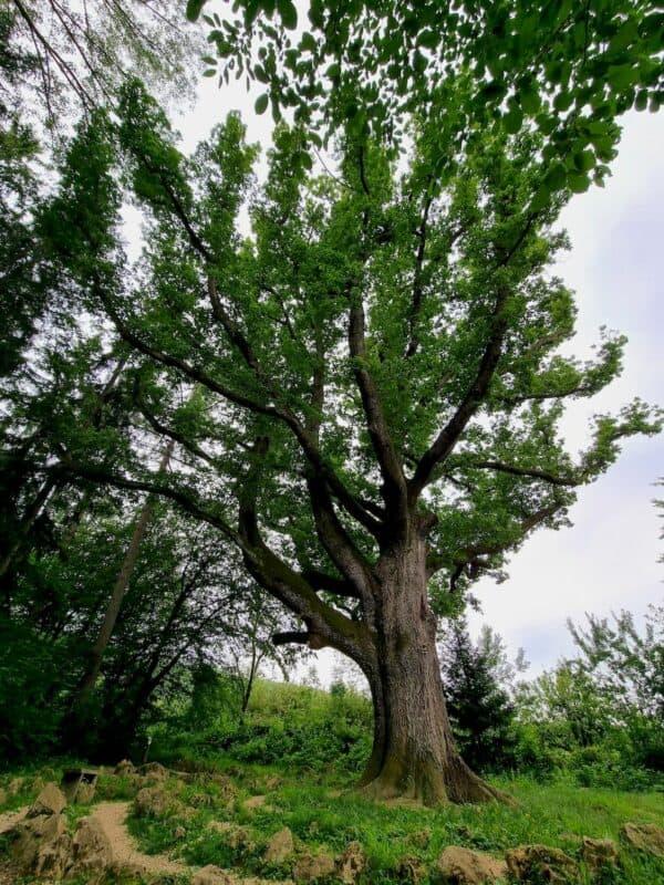 Wunderschöner großer alter stolzer Baum